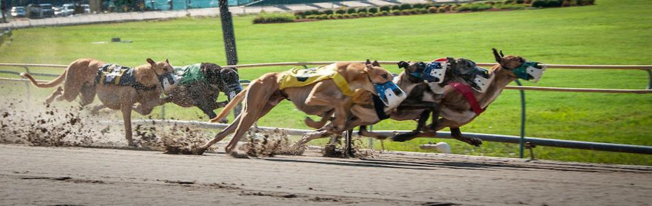 Greyhound dog race betting how does card index betting work rihanna